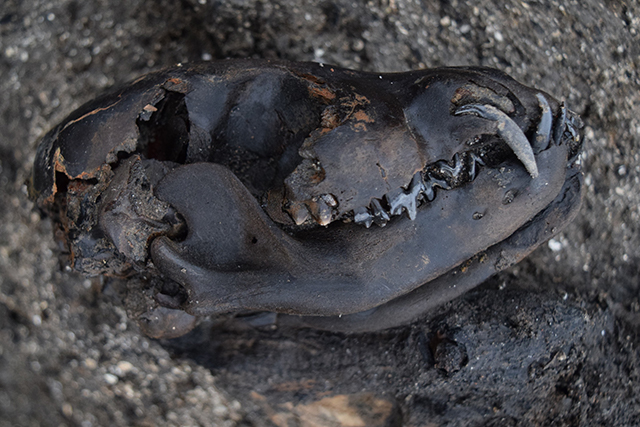 Other evidence of dogs, such as this skull, were recovered alongside the coprolites. The evidence from the dogs' poo suggests that they were being fed similar food to the humans at the site. Could these have been the leftovers from meals?
