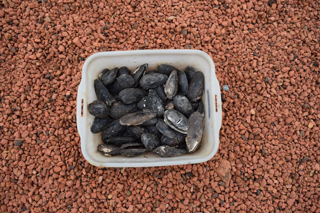 Molluscs are an important indicator of environmental conditions. The river channel below the structures contained a large quantity of mussels. Were they being used as a food source?