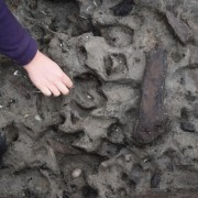 Animal and human prints being excavated in the roddon silts in the area surrounding the timber causeway.
