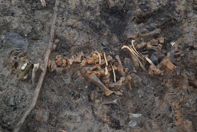 Image of a semi-articulated calf skeleton from one of our roundhouses. Domesticated animals tend to be found underneath the footprints of the stilted buildings.
