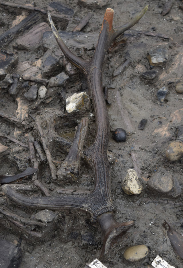 Antler still attached to a deer skull found alongside other fragmentary material close to the palisade in the eastern area of the settlement.